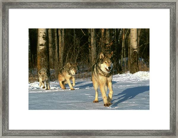 Grey Wolves In Snow Framed Print