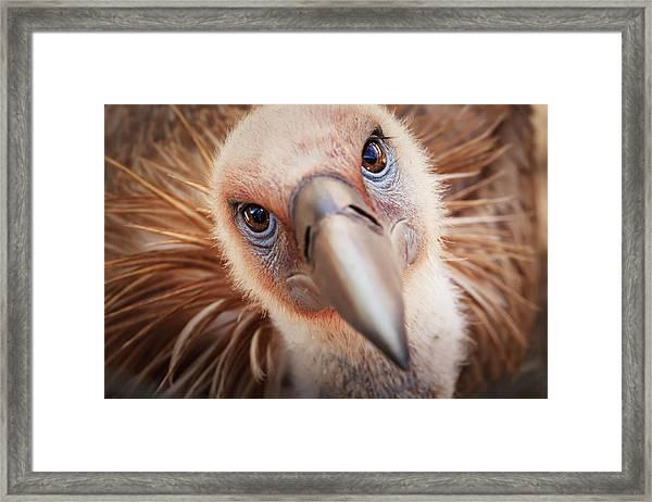 Griffon Vulture Gyps Fulvus Framed Print