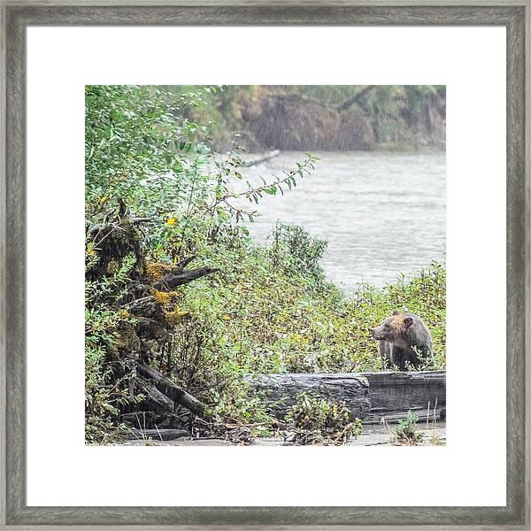 Grizzly Bear Late September 2 Framed Print