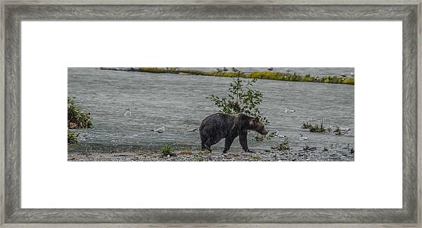 Grizzly Bear Late September 5 Framed Print