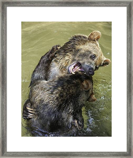 Grizzly Cubs Roughhousing Framed Print