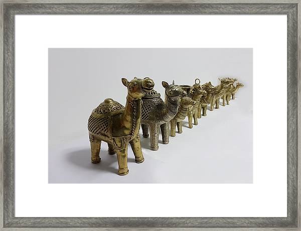 Group Of Camels Framed Print