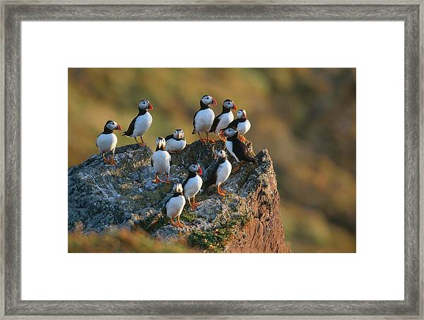 Group Of Puffins Fratercula Arctica Framed Print