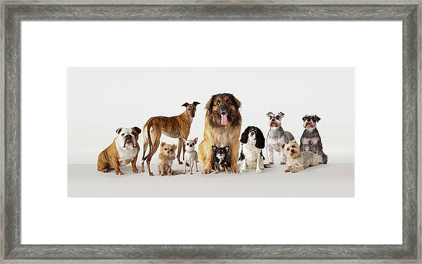 Group Portrait Of Dogs Framed Print by Compassionate Eye Foundation/david Leahy
