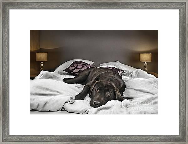 Guilty Dog On Bed Framed Print