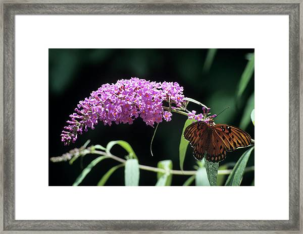 Gulf Fritillary Butterfly Framed Print by Sally Mccrae Kuyper/science Photo Library
