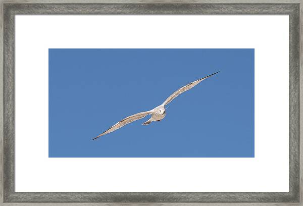 Gull In Flight - 2 Framed Print