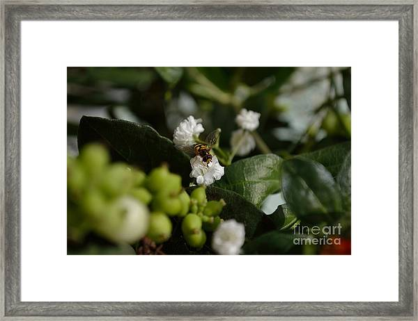 Gypsophilia Hover Fly Framed Print