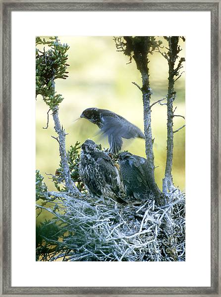 Gyrfalcon Learning To Fly Framed Print