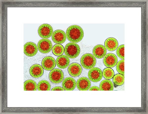 Haematococcus Algae Framed Print by Marek Mis