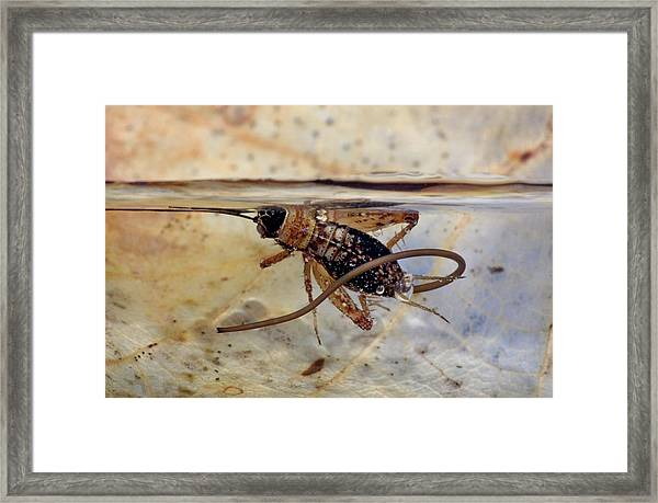 Hairworm And Wood Cricket Framed Print