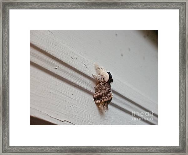 Hairy Russian Moth Framed Print