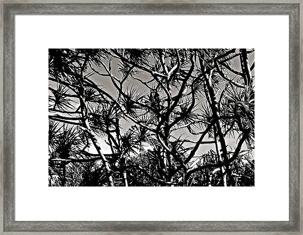 Hala Trees Framed Print