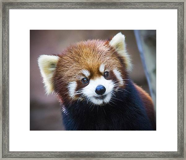 Happy Red Panda Framed Print