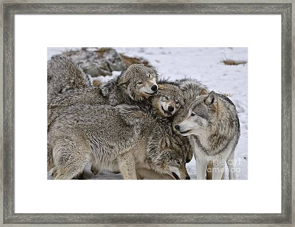 Happy Wolf Pack Framed Print