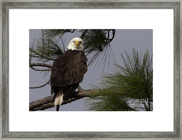 Harriet The Bald Eagle Framed Print