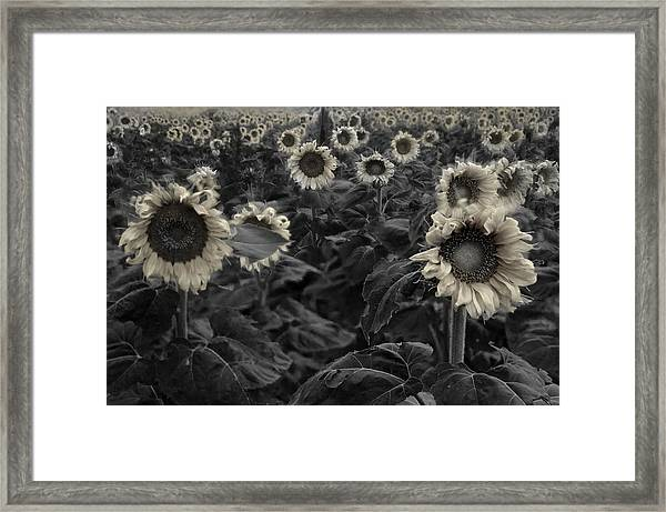 Haunting Sunflowers Field 3 Framed Print
