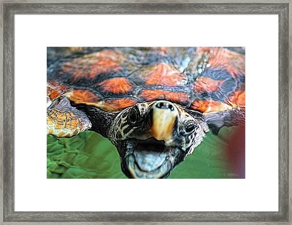 Hawk Billed Turtle Framed Print