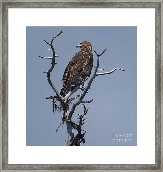 Hawk Eye Framed Print