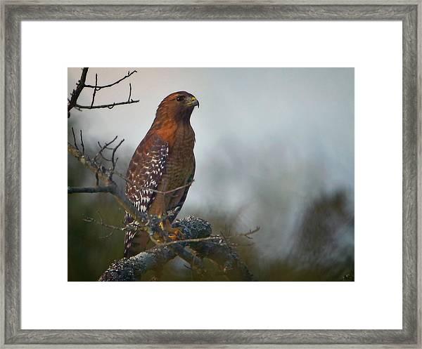 Hawk In The Mist Framed Print