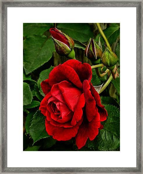 Hdr Rose Framed Print