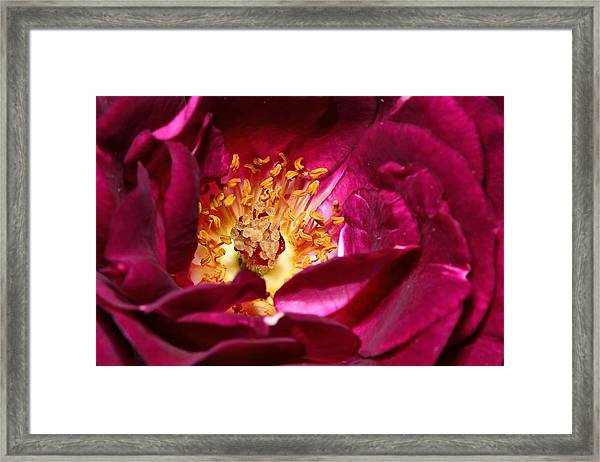 Heart O' The Rose Framed Print