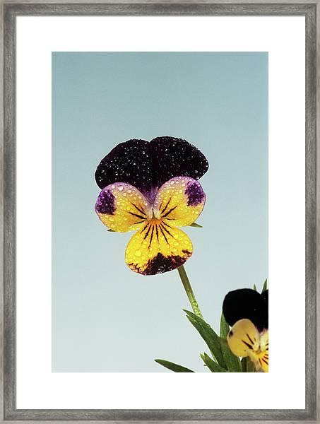 Heartsease Flower Framed Print