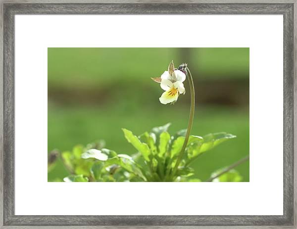 Heartsease (viola Tricolor) Framed Print