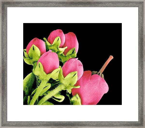 Heath Flowers Framed Print by Susumu Nishinaga