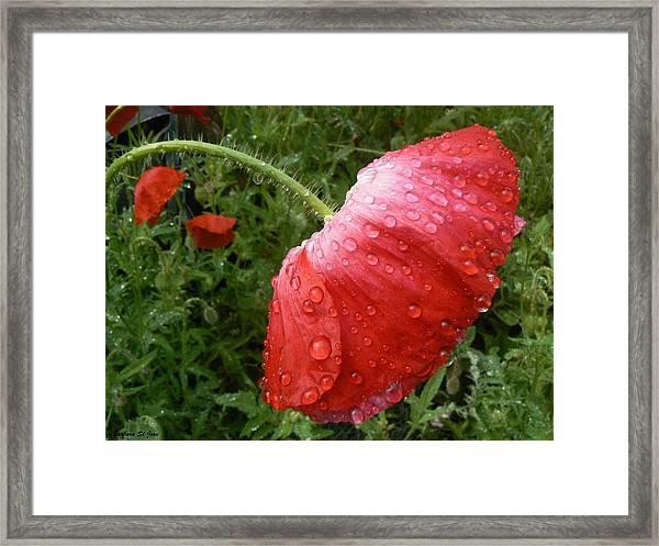 Heavy Head Poppy Framed Print