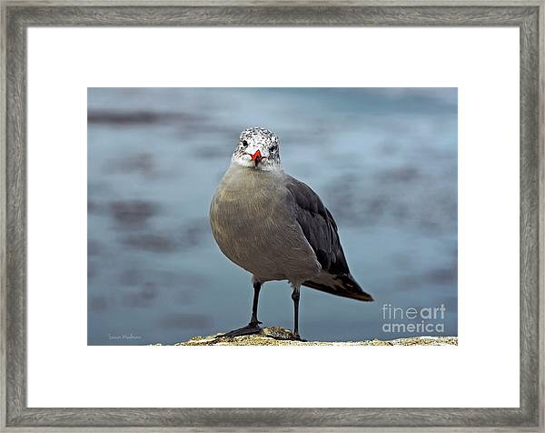 Heermann's Gull Looking At Camera Framed Print