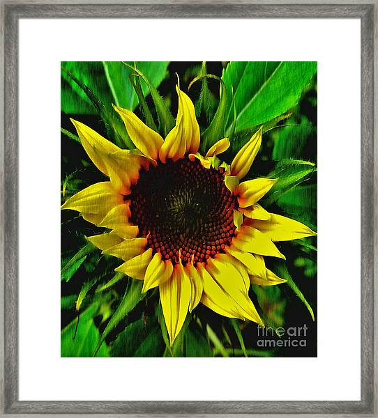 Helianthus Annus - Sunnydays Framed Print