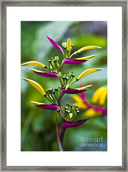 Heliconia Subulata II Framed Print