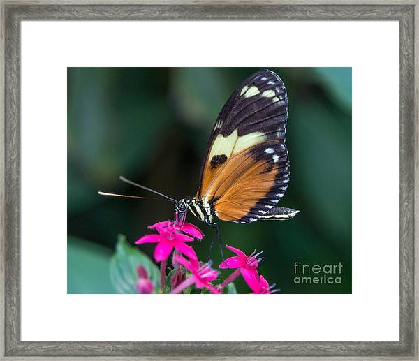 Heliconius Ismenius Framed Print