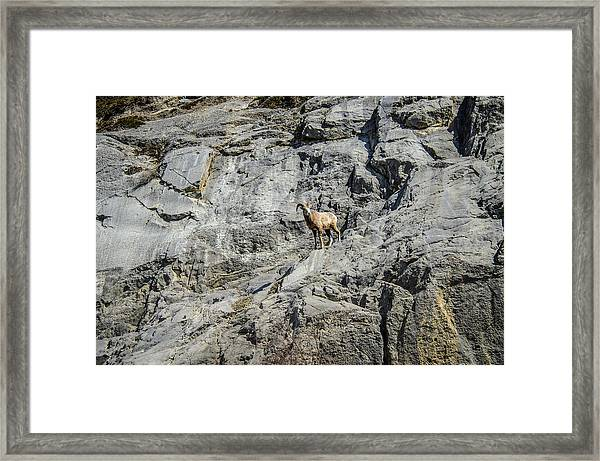 Big Horn Sheep Coming Down The Mountain  Framed Print