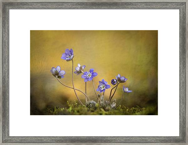 Hepatica Nobilis Flower Framed Print