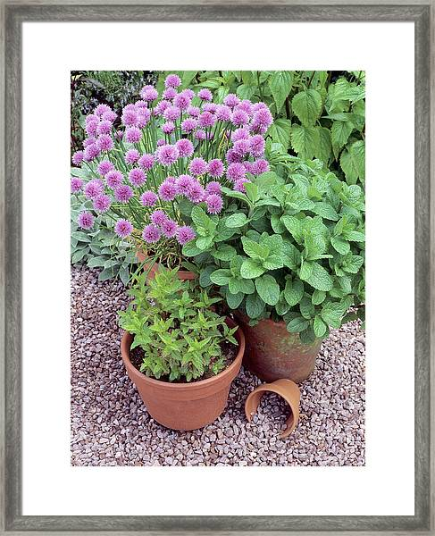 Herbs In Pots Framed Print