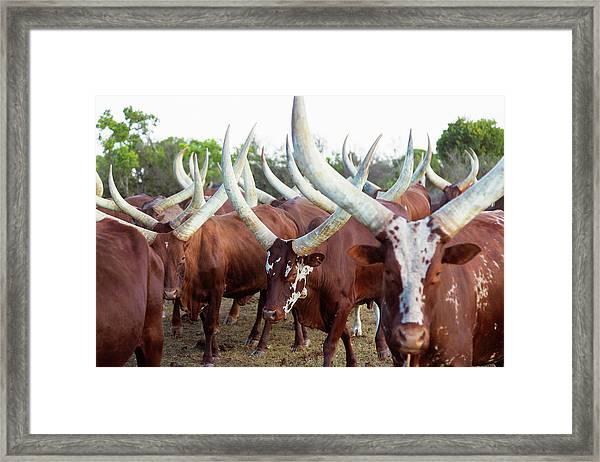 Herd Of Ankole-watusi Cattle, Kenya Framed Print by Martin Harvey