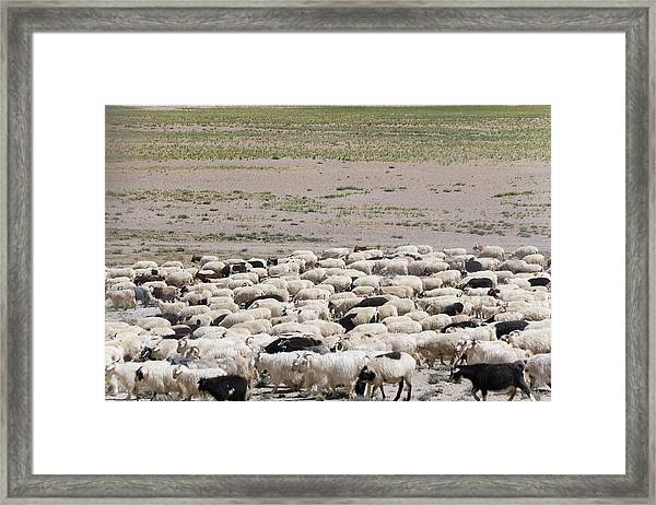 Herding Sheep In The Himalayas Framed Print