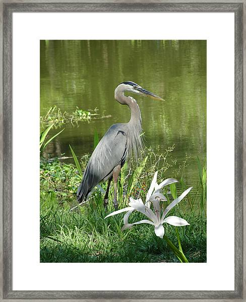 Heron And Swamp Lily Framed Print by M Spadecaller
