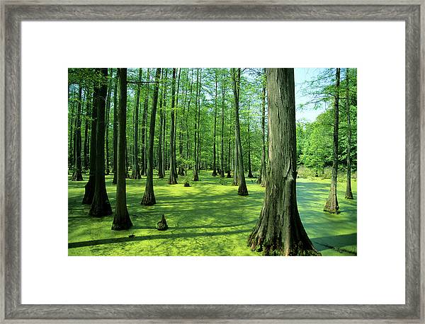 Heron Pond Bald Cypress Trees In Little Framed Print
