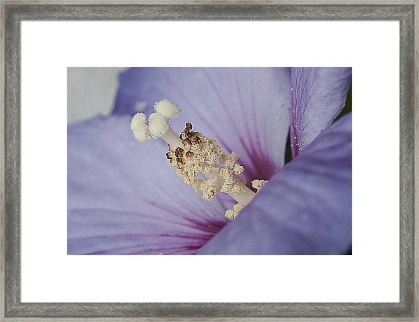 Hibiscus Blue Framed Print by Shirley Mitchell