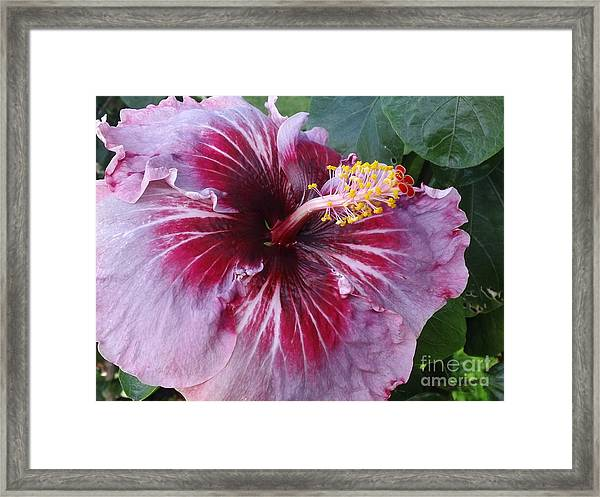 Hibiscus In Hawaii Framed Print
