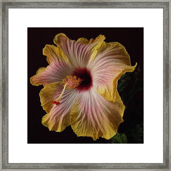 Hibiscus New Framed Print