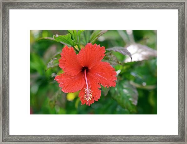 Hibiscus Rosa-sinensis Flower Framed Print