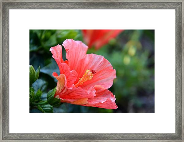 Hibiscus Summer Framed Print