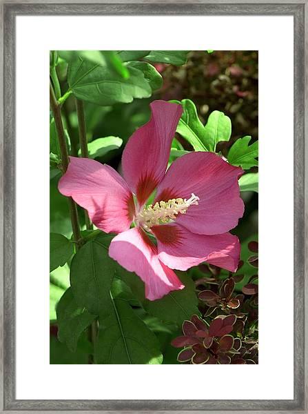 Hibiscus Syriacus 'woodbridge' Framed Print