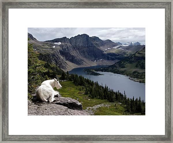 Hidden Lake Mountain Goat Framed Print by Robert Yone