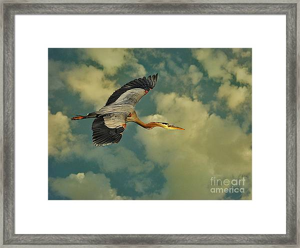 High Flying Great Blue Heron Framed Print