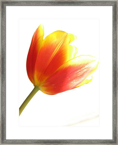 High-key Tulip Framed Print
